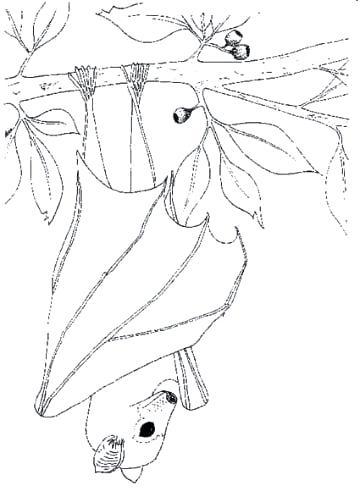 360x497 Stellaluna Coloring Page Explore Bat Coloring Pages Preschool