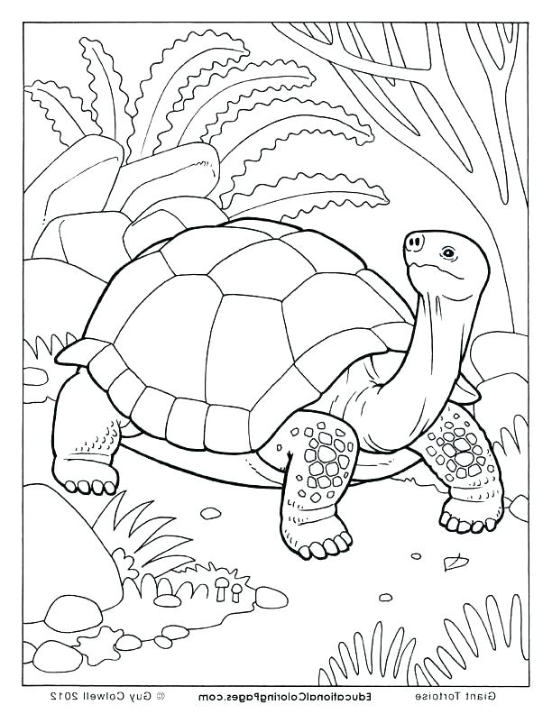 612x792 With Land Tortoise Coloring Pages Page Sometimes Called An Spurred