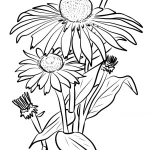 300x300 Coloring Pages Of Daisy Flower Best Of Coloring Page Daisy Flower