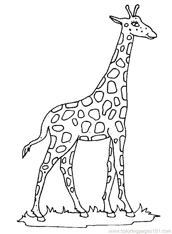 585x794 Coloring Pages Of Giraffes Coloring Pages Giraffe Zoo Coloring