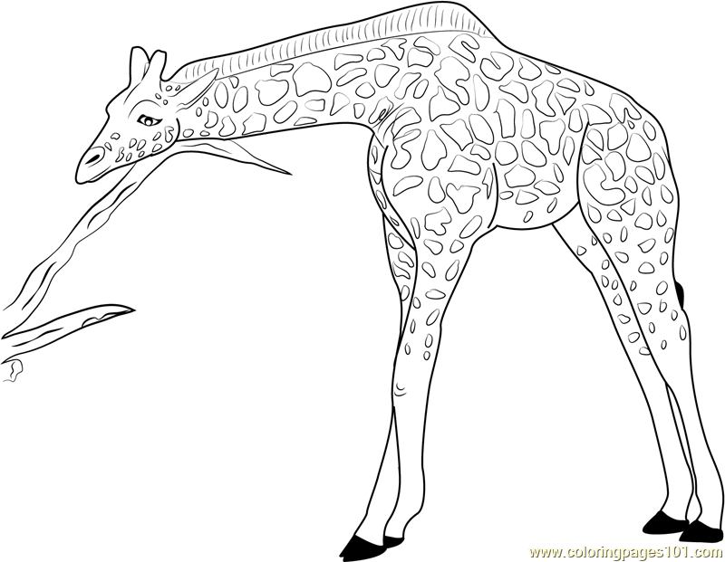 800x621 Coloring Pages Of Giraffes Realistic Giraffe Coloring Page