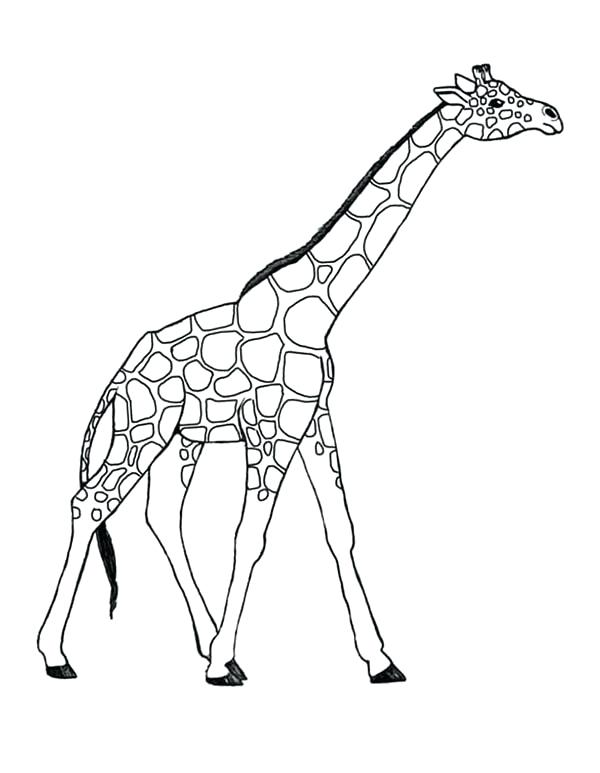 600x773 Giraffes Coloring Pages Awesome Giraffe Coloring Page Giraffe