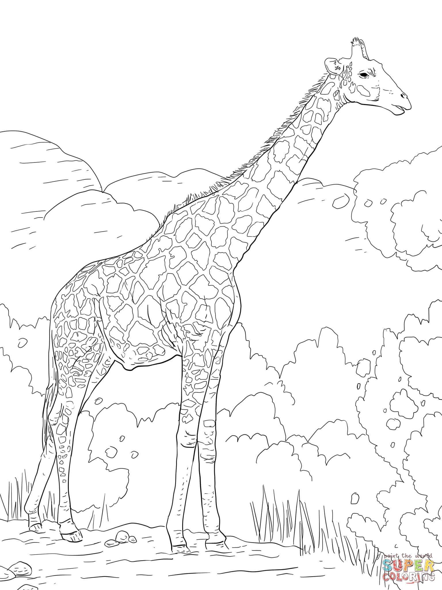 1536x2048 The Angolan Giraffe Or The Namibian Giraffe Coloring Page