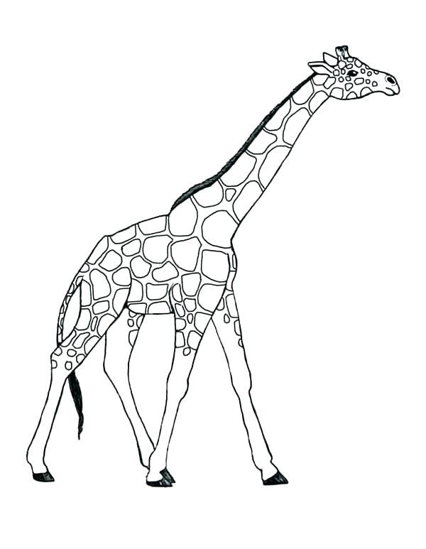 600x773 Coloring Pages Giraffe Giraffe Coloring Page Giraffe Coloring