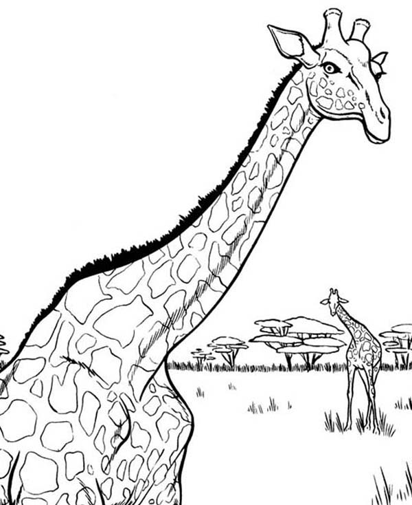 600x734 African Giraffe Coloring Page