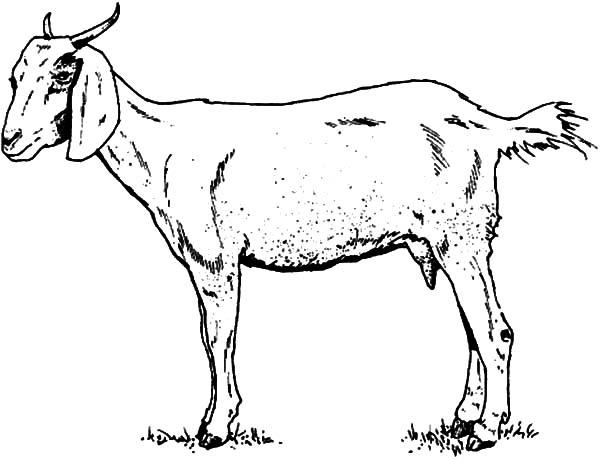 600x459 Skinny Goat Coloring Pages Color Luna