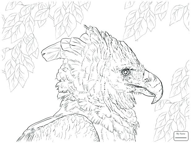 618x464 Eagle Color Sheet Golden Eagle Birds Coloring Pages Page Printable