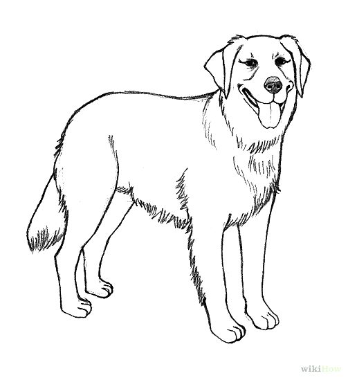 503x549 Golden Retriever Coloring Page Realistic Golden Retriever Coloring