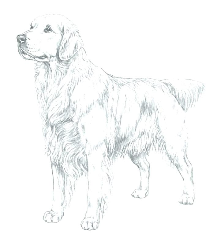 722x800 Golden Retriever Coloring Pages Retriever Coloring Pages Download