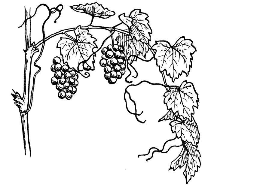 875x620 Coloring Page Grape Vine