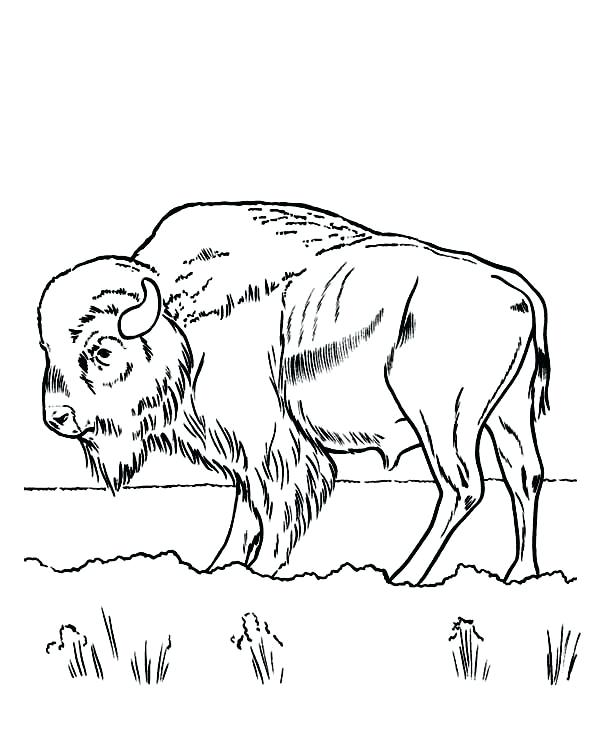 600x734 Bison Coloring Pages