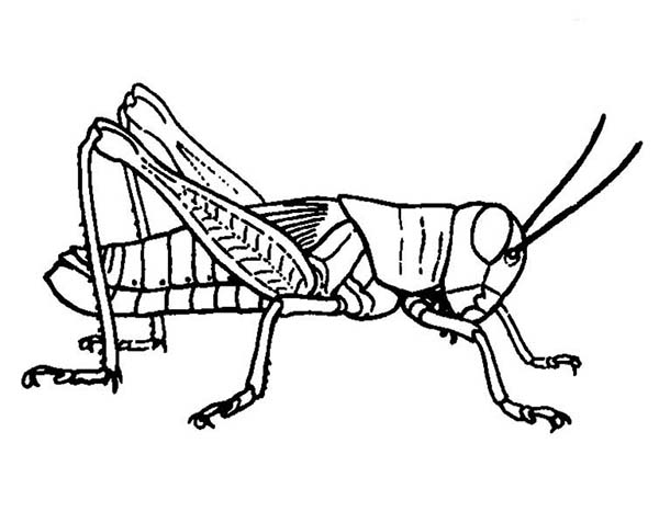 600x477 Grasshopper Picture Coloring Page