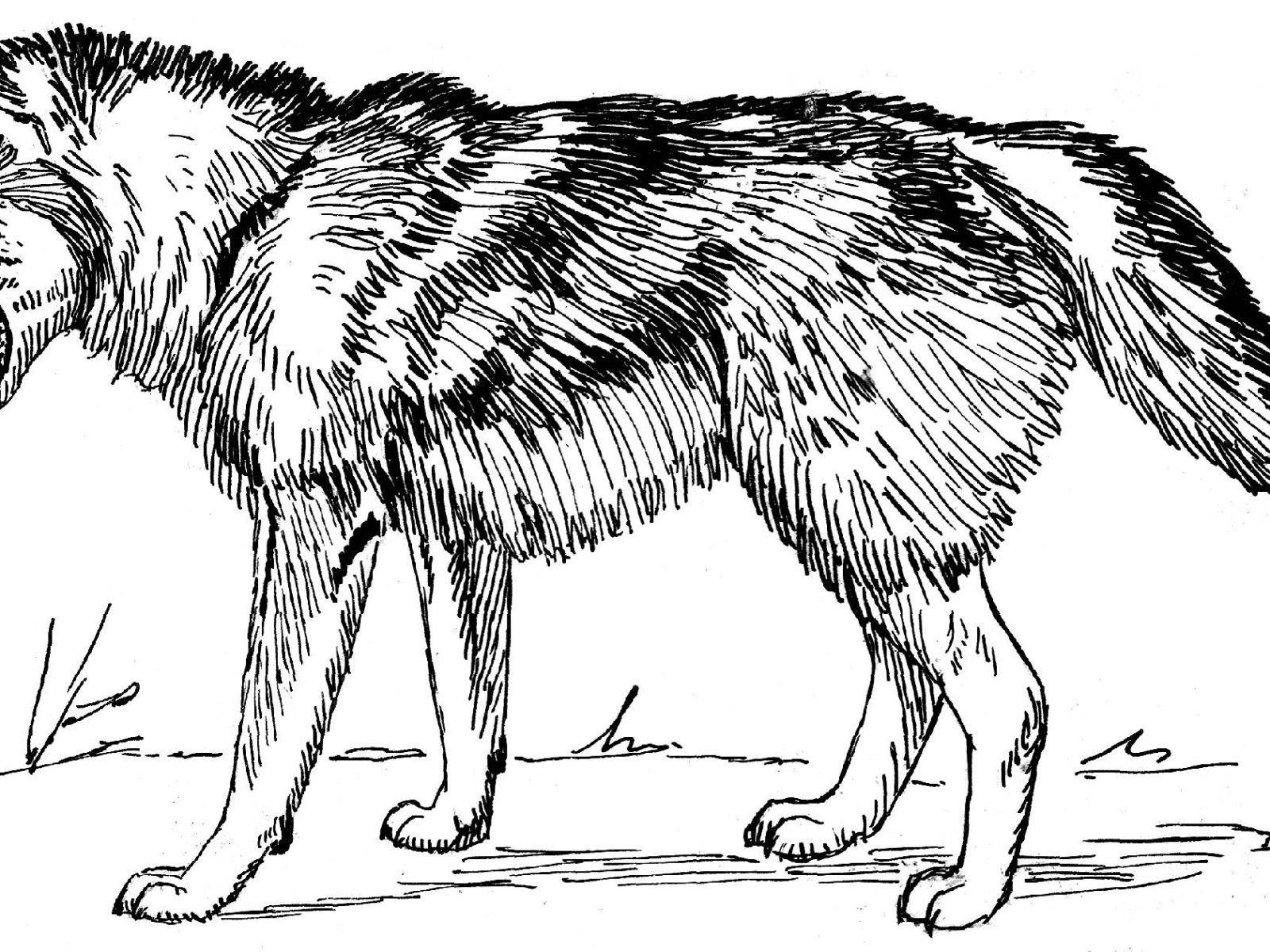 1600x1200 Real Wolf Coloring Pages Free For Adults Realistic Printable