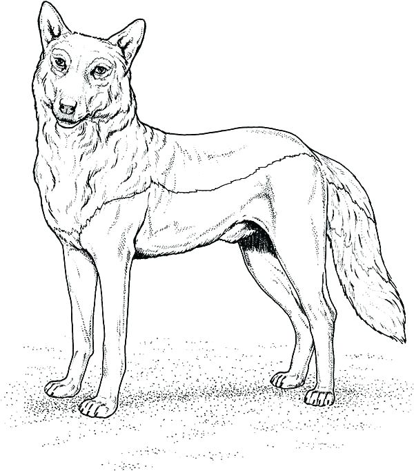 600x682 Wolf Color Pages Grey Wolf Coloring Pages Gray Page Traceable