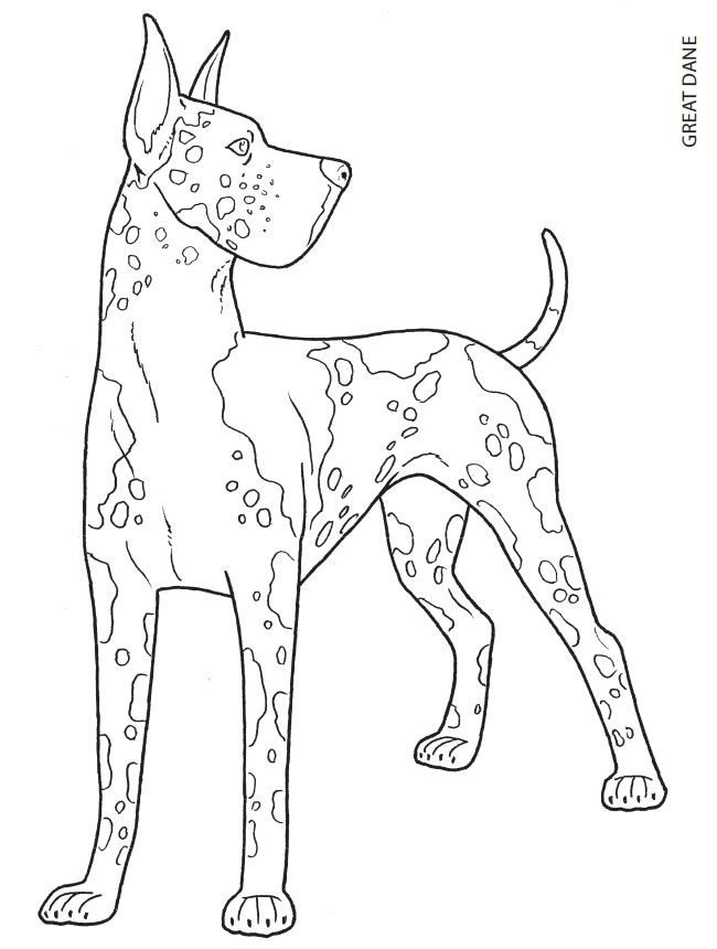 650x860 The Great Dane Is A Large German Breed Of Dog Known For Its
