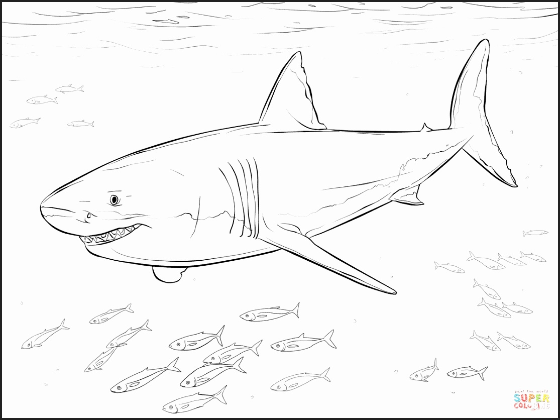 1115x836 Genuine Great White Shark Colouring Pages To Print