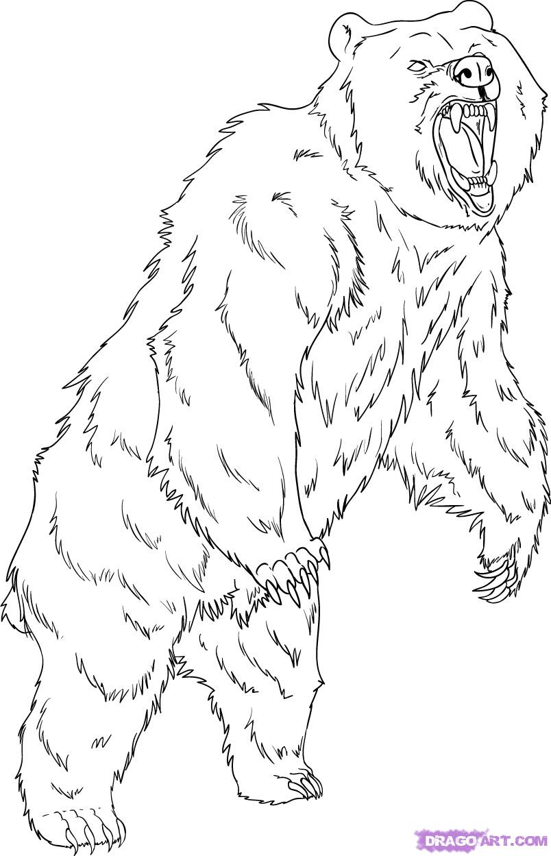 804x1249 How To Draw Grizzly Bear Drawing