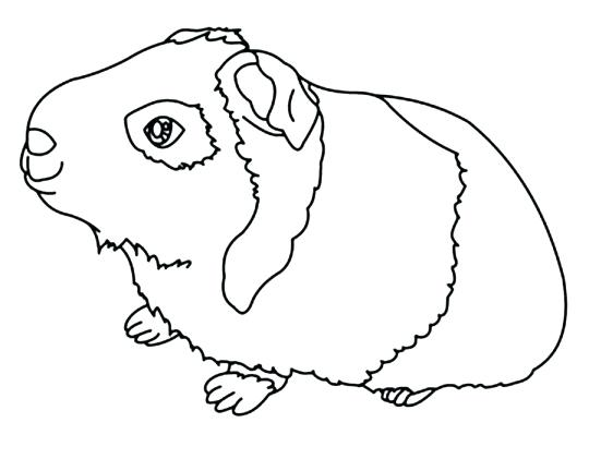 Guinea Pig Coloring Pages At Getdrawings Free Download