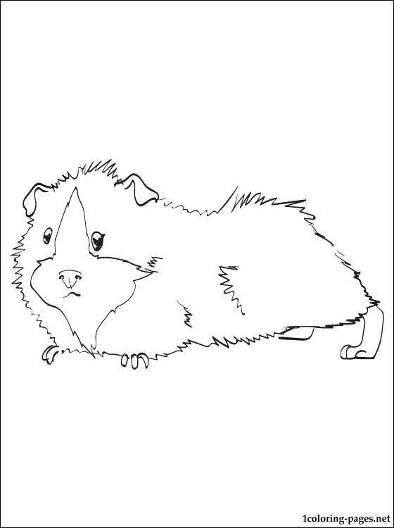 560x750 Guinea Pig Coloring Pages
