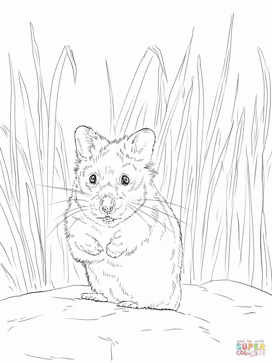 899x1199 Hamster Coloring Page Free Printable Pages Also Olegratiy