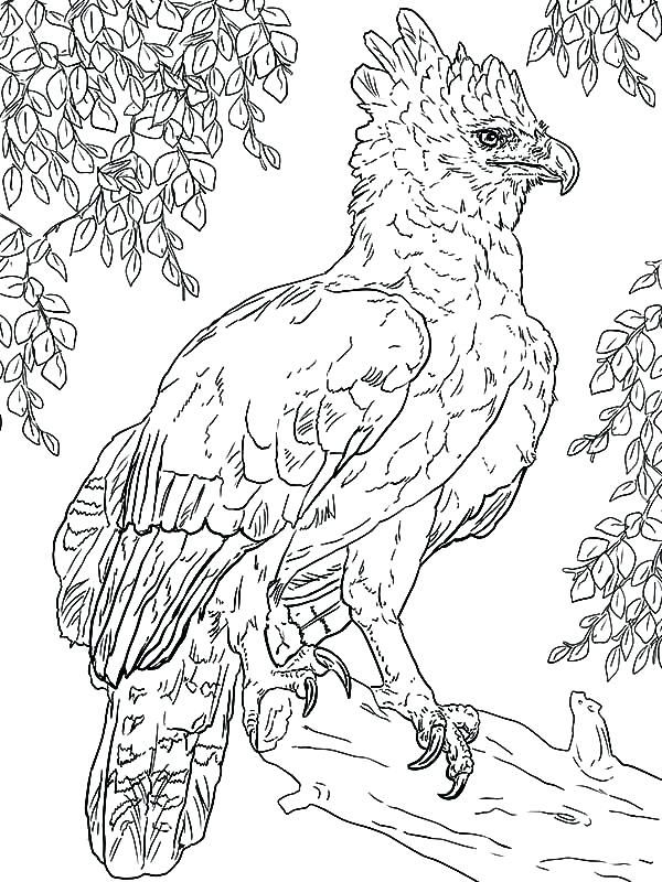 600x800 Harpy Eagle Coloring Page Harpy Eagle Harpy Eagle Perched