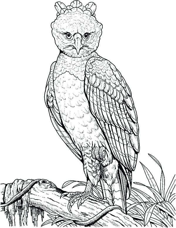 600x776 Coloring Page Of An Eagle Harpy Eagle Perched On A Branch Coloring
