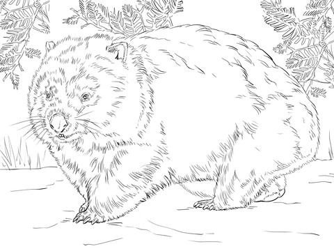 480x360 Wombat Coloring Pages