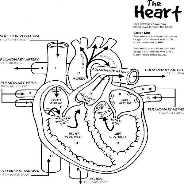 graphic regarding Printable Heart Diagram identify Centre Diagram Coloring Webpage at  Free of charge for