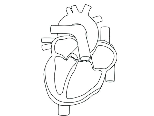 600x450 Free Coloring Pages Human Heart Heart Anatomy Coloring Pages Human