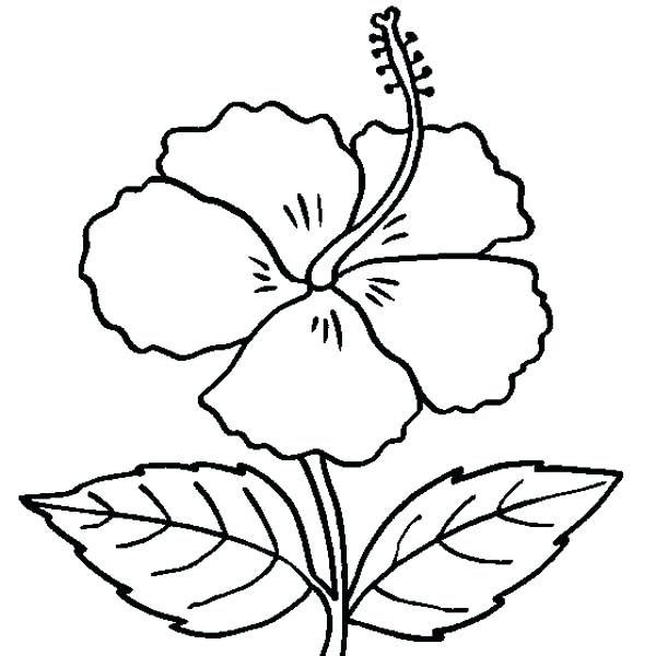 600x600 Hibiscus Coloring Pages Hibiscus Flower In Bloom Coloring Page
