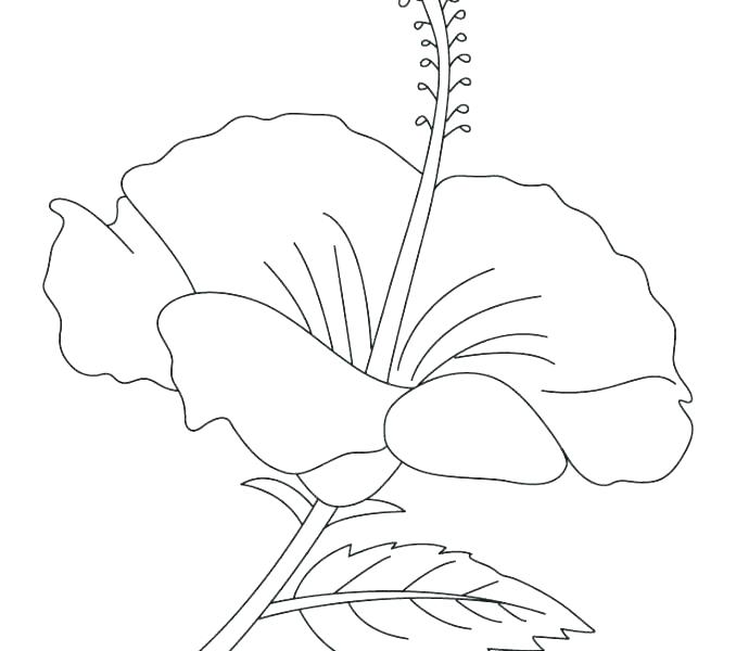 678x600 Hibiscus Flower Coloring Page