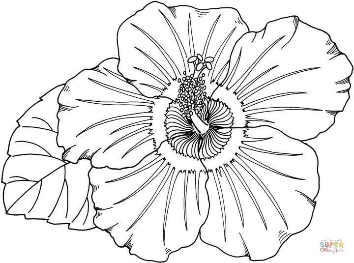 720x535 Hibiscus Super Coloring Colos Vierges Hibiscus