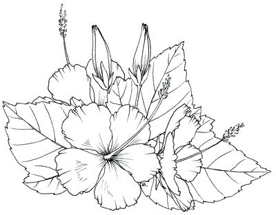 400x312 Hibiscus Flower Coloring Page Drawn Color Free Printable Pages