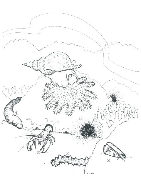 480x605 Sea Urchin Coloring Page Coloring Pages Sea Urchin Coloring Page
