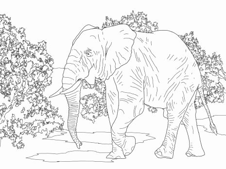 465x348 Dorable Indian Elephant Coloring Page Pattern