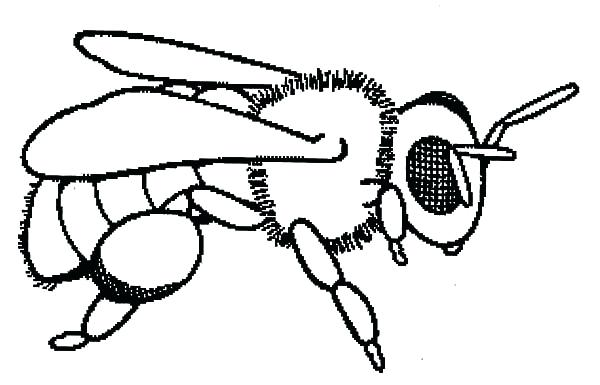 600x385 Bee Coloring Page