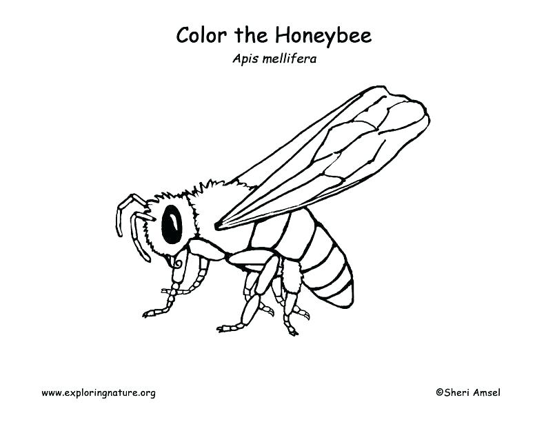 792x612 Honey Bee Coloring Page Honey Bee Coloring Page Honey Bee Coloring