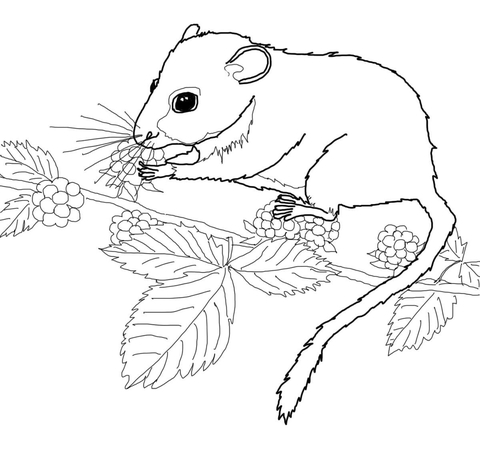 480x470 Dormouse Eating Berries On Tree Coloring Page