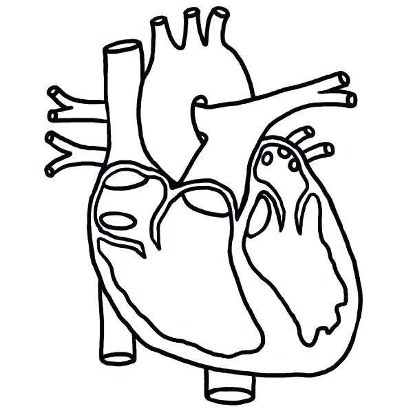 600x600 Heart Anatomy Printable Coloring Pages Body Systems On Free Human