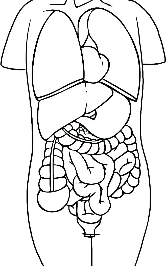 Human Body Coloring Pages Free At Getdrawings Free Download