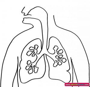 Human Body Organs Coloring Pages