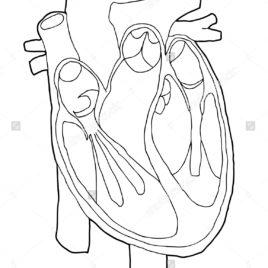 268x268 Human Organs Coloring Pages For Kids Human Body Organ Printables