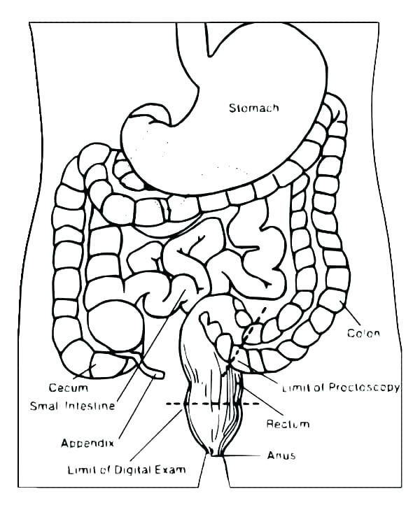 600x729 Digestive System Coloring Pages Muscular System Coloring Pages