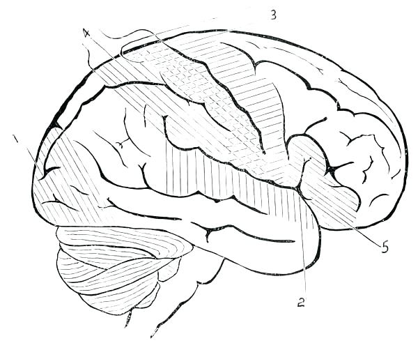 600x492 Brain Anatomy Coloring Pages Anatomy Coloring Pages Photos Brain