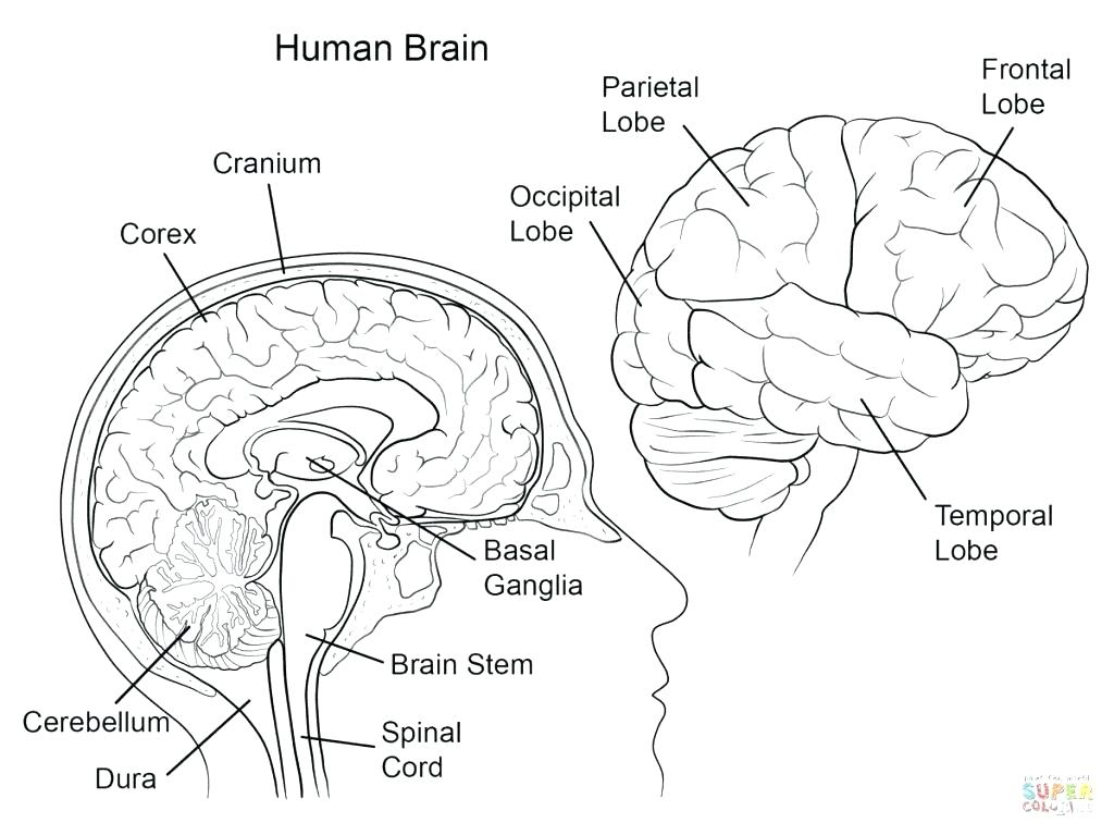 1024x767 Brain Coloring Page The Human Brain Coloring Book Together