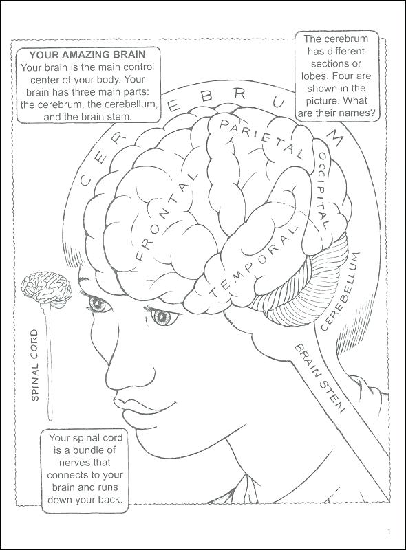 590x800 Brain Coloring Book Together With Brain Anatomy Coloring Pages