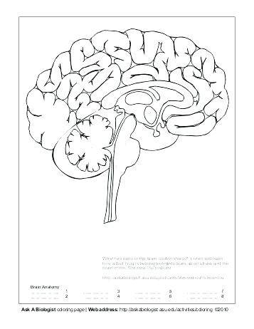 357x462 Brain Coloring Brain Coloring Worksheet Anatomy Coloring Pages