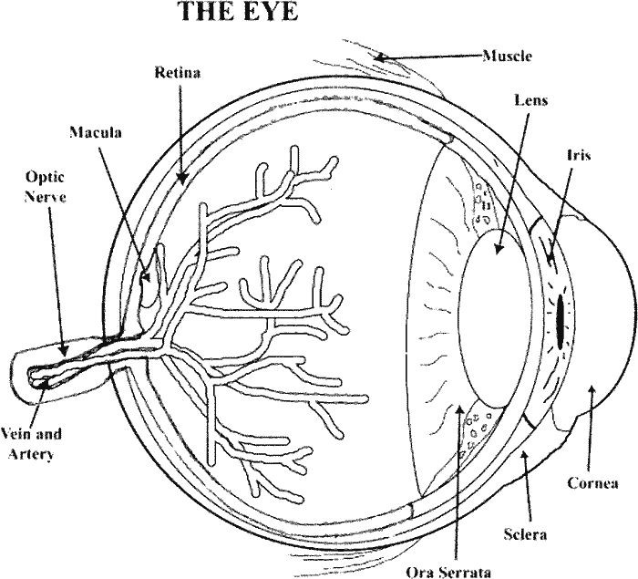 700x635 Anatomy Of The Eye Coloring Key Best Of Human Eye Coloring Page