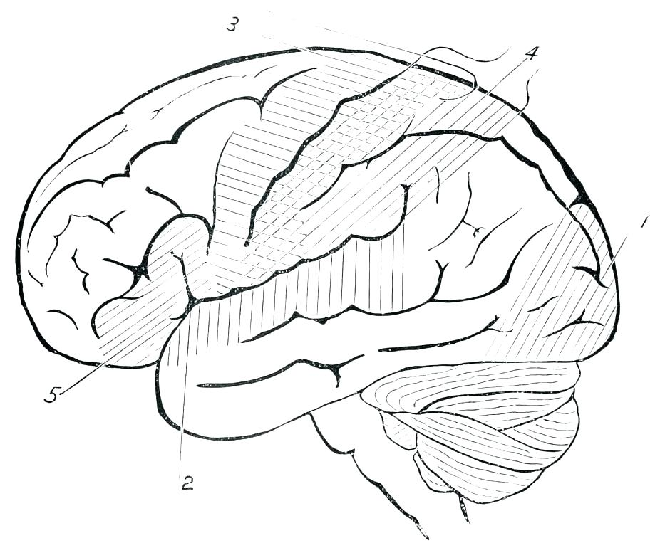 940x770 Brain Anatomy Coloring Pages Free Printable Human Anatomy Coloring
