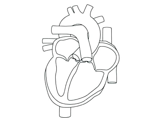 600x450 Human Heart Coloring Pages Human Organs Coloring Page Human Heart